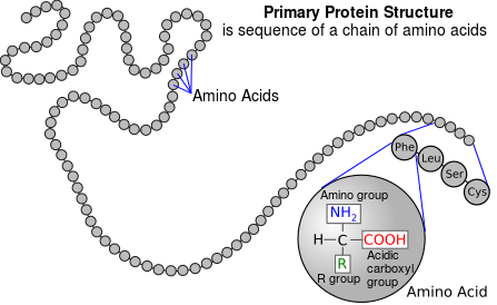447px-Protein_primary_structure.png