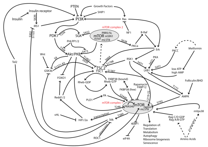 800px-MTOR-pathway-v1.7.png